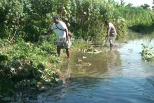Para petani di Paya Bakung Kelurahan Martubung Kecamatan Medan Labuhan ini, secara bersama-sama terpaksa mencabuti tanaman ubi kayu mereka, akibat terendam air, meskipun tidak laku untuk dijual.(foto : tobasatu.com/ Lee)