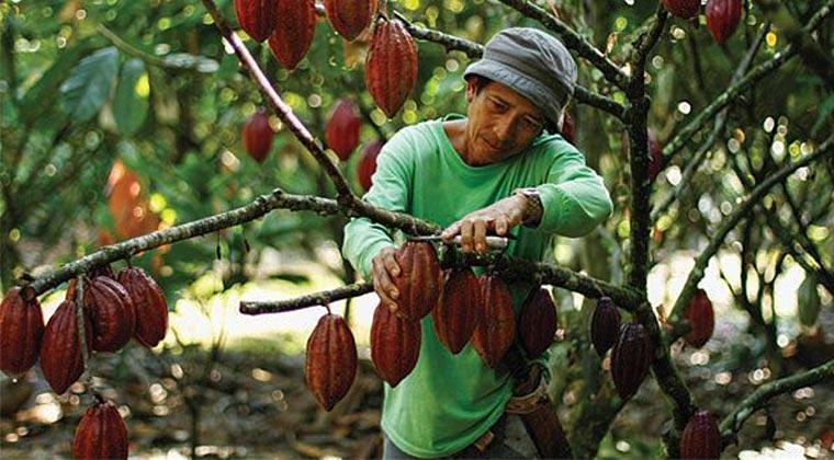 Hasil gambar untuk kakao di sumut